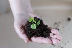 Rozsady w rękach rolnictwo Fotografia Stock