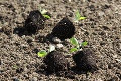 Rozsady warzywa na jarzynowego ogródu łóżkach Obrazy Royalty Free