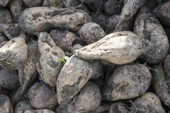 Rozsypisk sugarbeets obraz stock
