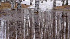 Rozsypiska, dryfy stary śnieg, kałuże w brzoza parku w wiośnie Powierzchnia woda pluskocze od wiatru zbiory wideo