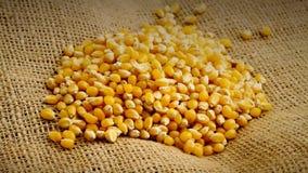 Rozsypisko kukurudza lub kukurydz nasiona wiruje na burlap organicznie, surowa, wysuszona, zdjęcie wideo