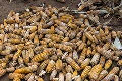 Rozsypisko uszkadzający i przegnili kukurydzani cobs, Belathur India Zdjęcie Royalty Free