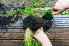 Rozszczepiać ziele korzenie obrazy stock
