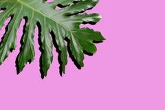 Rozszczepiony liścia filodendron Obrazy Stock