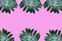 Rozszczepiony liścia filodendron Zdjęcia Stock