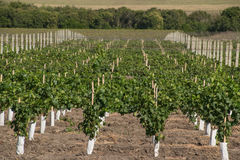 Rozszerzanie się i piękni zieleni winnicy Fotografia Royalty Free