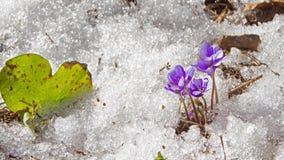 Roztapiający śniegu i wiosny kwiaty, upływ zdjęcie wideo