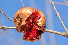 Roztrzaskany granatowiec na drzewie zdjęcie stock