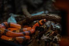 Rozumieć najpierw mieć zrozumienie świat węże musisz, ty co jest różny między colubrid i wężem zdjęcie royalty free