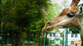 ROZWAŻNA żyrafa fotografia royalty free