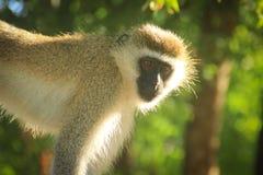 Rozważny małpi portret Mieszkanowie dżungla fotografia royalty free