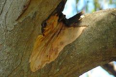 Rozwidlenie drzewo, pokazywać potomstwa korowatych i płaczącą aproszę Zdjęcie Royalty Free