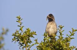 Rüppel's Warbler (Sylvia Rueppelli) Stock Photo