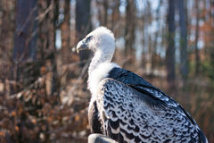 Rüppell's Vulture Stock Photo