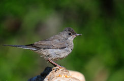 Rüppell`s Warbler Royalty Free Stock Image