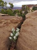 Desert flowers from Utah, growing in stones royalty free stock photo