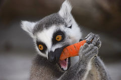 RRing-tailed lemur is eating a carrot Royalty Free Stock Photo