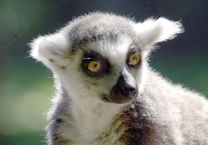 Rring-Tailed Lemur Portrait. Portrait of the Ring-Tailed Lemur from Madagascar stock image