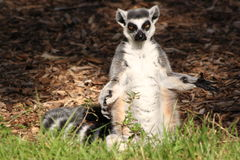 Rring-tailed lemur standing. A fun ring-tailed lemur standing with open arms Stock Photos