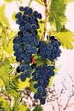 Rripe grape on a branch. Stock Photography