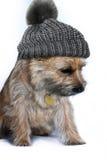 Röse Terrier Royaltyfria Foton
