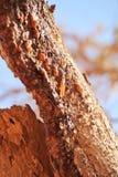 Résine d'arbre de myrrhe Photos libres de droits