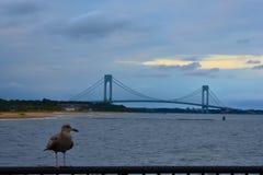 Rsting Seagul обозревая мост Verrazano стоковые изображения