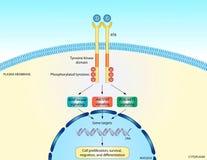 RTK signaling pathway. Illustration of the receptor tyrosine kinase pathway Royalty Free Stock Photos