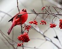 Rött huvudsakligt sammanträde i ett träd med röda bär Arkivfoton