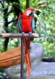 Rött papegojaanseende på träpol Arkivbild