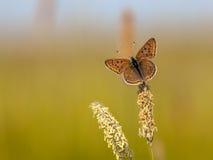 Rußiger kupferner Schmetterling auf Gras Lizenzfreies Stockbild