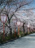 Rua da flor de cereja Imagem de Stock Royalty Free