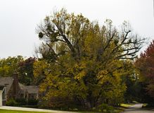 Rua da vizinhança com a árvore gigante do outono com grupos do visco foto de stock