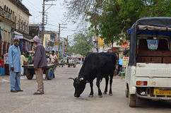 Rua-vida com vaca, Nawalgarh, Rajasthan, Índia Fotos de Stock Royalty Free