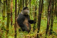 Ruandischer goldener Affe, der mitten in Bambuswald, RW sitzt Stockbild