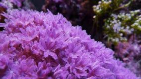 Rubí coralino suave Xenia de pulsación roja almacen de metraje de vídeo