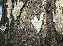 Rubí natural del corazón la corteza de un árbol de abedul en el bosque Imagen de archivo libre de regalías