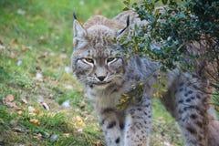 Rubacchiare di Lynx Fotografie Stock Libere da Diritti