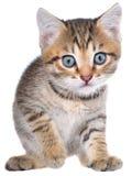 Rubacchiare strisciante del gattino brindled di Shorthair Immagini Stock Libere da Diritti