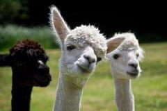 Rubando la ribalta - alpaca Immagini Stock