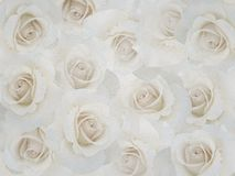 White roses on a light background. Royalty Free Stock Image
