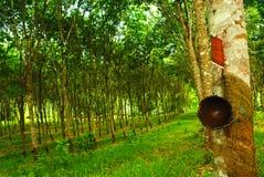 Rubber aanplanting in Thailand Stock Fotografie