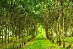 Rubber aanplanting in Thailand Stock Afbeeldingen