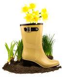 Rubber boots with spring yellow flowers daffodils, grass and gro Royalty Free Stock Photo