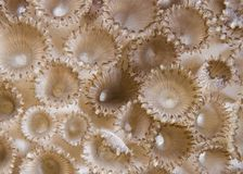 Rubber coral (Palythoa tuberculosa) detail. Royalty Free Stock Images