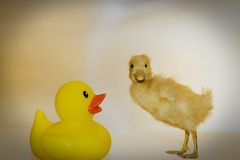 Rubber duck and chick Royalty Free Stock Photography