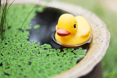 Rubber duck in the pool Royalty Free Stock Photography