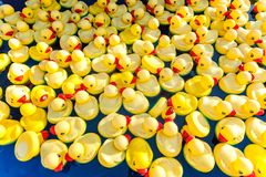 rubber duck in pool stock images