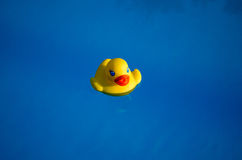 Rubber duck in the swimming pool Royalty Free Stock Image