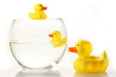 Rubber ducks in fish bowl Royalty Free Stock Image